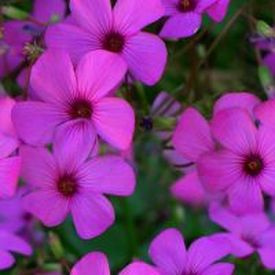 New Jersey State Flower - The Common Meadow Violet - ProFlowers Blog